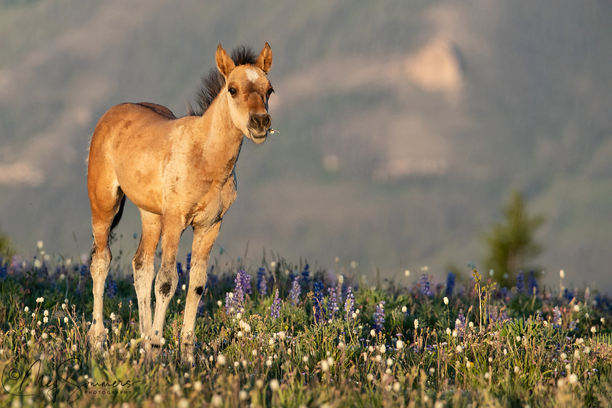 The young filly Usha is liking the sweet taste of bistort among the lupine.