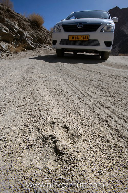 Tracks / pug marks of a wild snow leopard (Panthera uncia)(sometimes Uncia uncia) on a dirt high valley road. Ladakh Range, Western Himalayas, Ladakh, India.