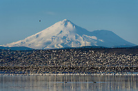 Mount Shasta with snow geese rising off wetland pond during late winter/early spring migration.  Lower Klamath National Wildlife Refuge, California-Oregon border.  Early morning.  Note: bald eagle on left side of mountain.