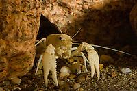 Höhlenkrebs, Höhlen-Krebs, Procambarus rodriguezi, crayfish