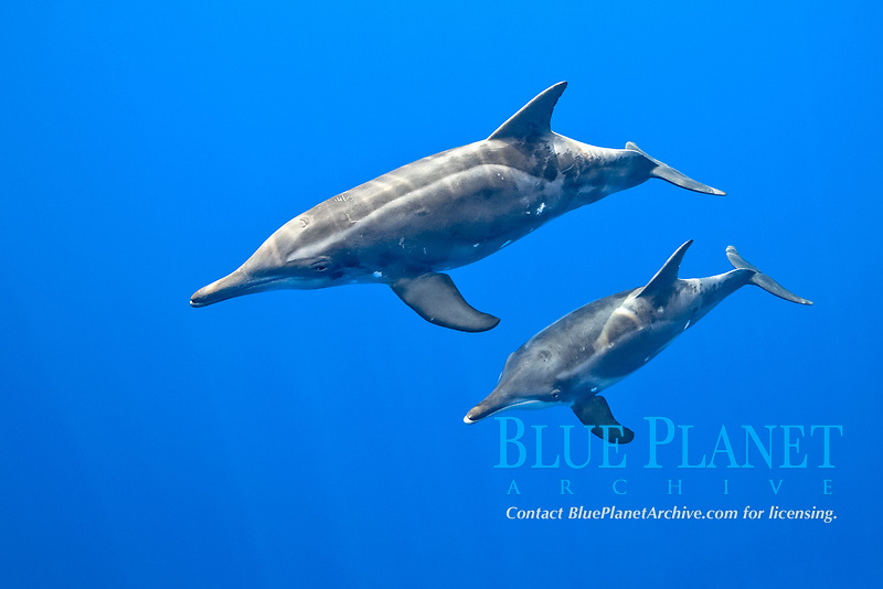 rough-toothed dolphins, Steno bredanensis, mother and calf, Kona Coast, Big Island, Hawaii, Pacific Ocean