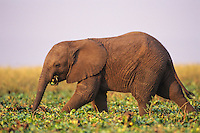 Young african elephant calf feeding along shore of Lake Kariba.  Africa.
