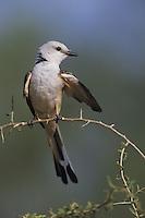 Scissor-tailed Flycatcher (Tyrannus forficatus), adult preening, Starr County, Rio Grande Valley, Texas, USA
