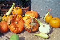 Pumpkin varieties, including white ghost, mixture of squashes in autumn fall picked harvest crop