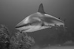 Grand Bahama Island, The Bahamas; a Caribbean Reef Shark (Carcharhinus perezi) swimming over a coral patch reef