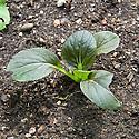 Purple pak choi, mid June. Seedlings just 5 weeks after seeds were sown.