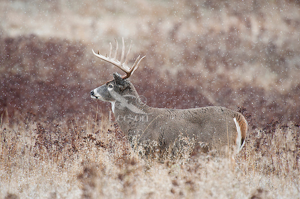 White-tailed Deer Buck (Odocoileus virginianus) in cold, wet snow on late fall morning.