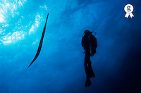 Silhouette of scuba diver watching Cornetfish (Fistularia commersonii) swimming (Licence this image exclusively with Getty: http://www.gettyimages.com/detail/sb10065145bw-001 )