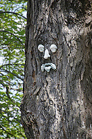 Face in the maple tree, Yarmouth Maine, USA