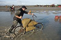 Europe/France/Picardie/80/Somme/Baie de Somme/Le Hourdel: ramassge des coques de La Baie de Somme, à la Pointe du Hourdel -vélo des ramasseusr pour porter les sacs de coques Auto N°:2008-205  N°:2008-206