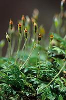 Spaltzahnmoos, Fissidens bryoides