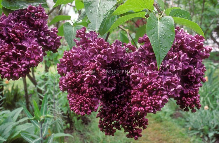 Syringa vulgaris 'Glory' lilac in spring flower, dark rich purple, Common Lilac