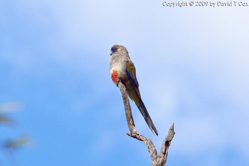 Blue Bonnet, near Menindee, NSW, Australia
