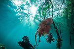 Snorkeler Kitty Lau in Mangroves of Raja Ampat discovers Soft corals, Dendronephthya