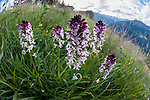 Cluster of Burnt or Burnt-tip Orchids (Neotinea ustulata) in a Alpine meadow. Tyrol, Austria.