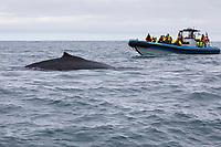 Buckelwal, Buckel-Wal, Wal, Wale, Megaptera novaeangliae, humpback whale, La baleine à bosse, la mégaptère, la jubarte, la rorqual à bosse, Walsafari, Walbeobachtung, Boot, Island, whale watching, Iceland
