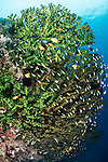 Anda, Bohol, Philippines; an aggregation of threadfin anthias and chromis fish swimming above a black sun coral colony on the wall of the reef