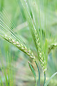 Hordeum vulgare var. coeleste, early July. A form of barley.