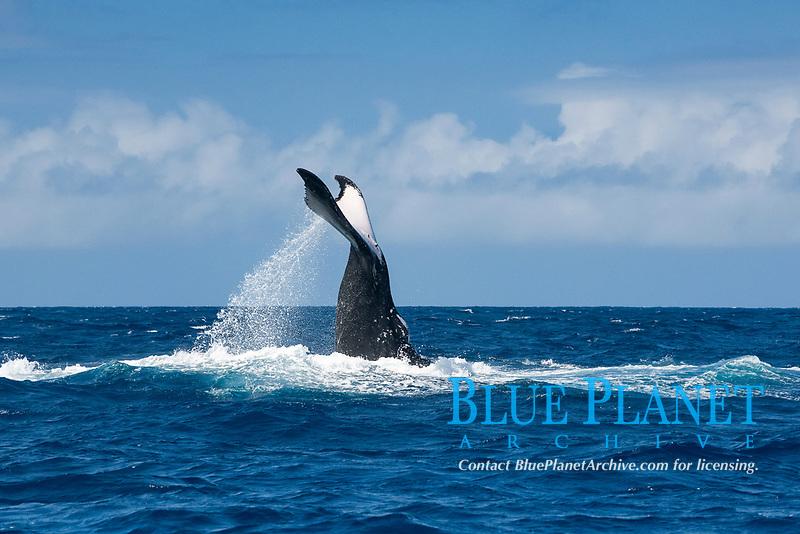 humpback whale adult female, Megaptera novaeangliae, lobtailing, Vava'u, Kingdom of Tonga, South Pacific Ocean