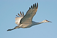 Greater sandhill crane flying from roosting pond, note ice on legs.