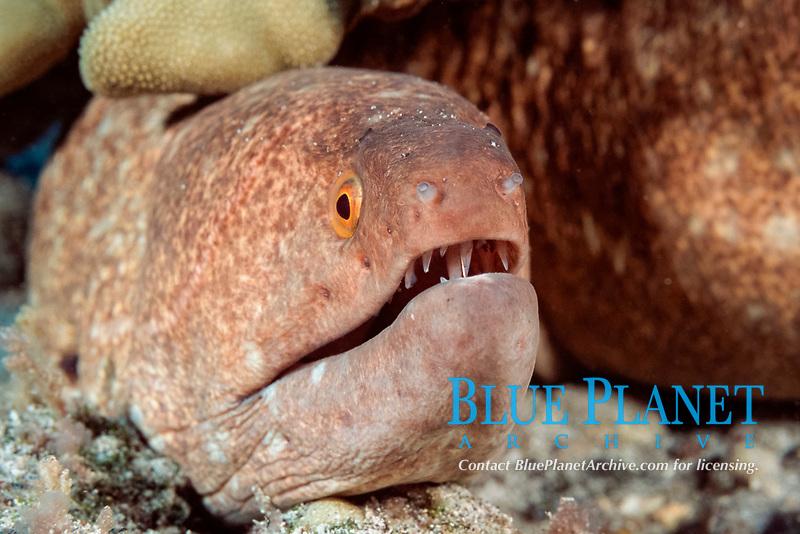 yellowmargin moray eel (puhi), Gymnothorax flavimarginatus, Red Hill, Kona, Hawaii, Pacific Ocean