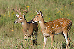 White-tailed buck (Odocoileus virginianus) in velvet standing near a fawn