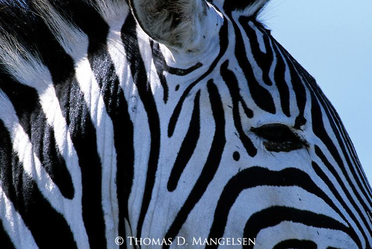 Close-up portrait of a Burchell's zebra in Kenya.