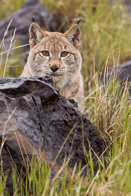Siberian Lynx watching from behind a boulder - CA