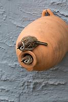 Feldspatz, Paar, Pärchen, an Nistkasten aus Ton, Tonröhre, Ton-Nistkasten, Nest, Feld-Spatz, Feldsperling, Feld-Sperling, Spatz, Spatzen, Sperling, Passer montanus, tree sparrow, pair, sparrow, sparrows, Le Moineau friquet