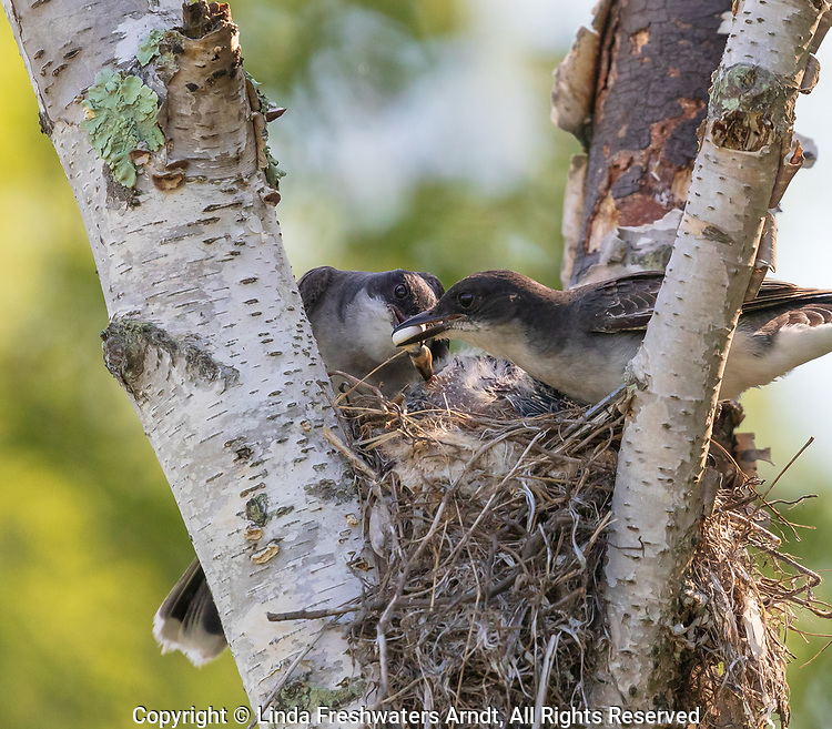 Eastern kingbirds removing fecal sac from the nest.