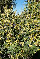 Salvia mexicana 'Limelight' flowers