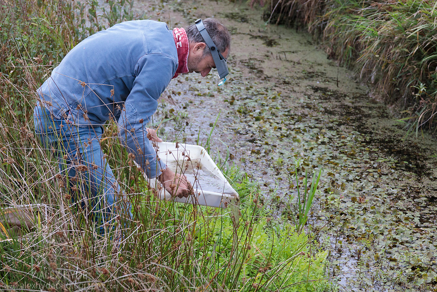Toby Abrehart surveying population of Little Whirlpool Ramshorn Snails (Anisus vorticulus) at Pulborough Brooks SSSI RSPB Reserve, West Sussex, UK. September.