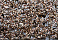 Thousands of Ducks, Chau Doc, Vietnam