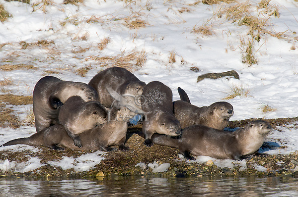 Seven Northern River Otter (Lontra canadensis) playing together on the bank of a river.  Western U.S., late Fall.  I believe this is two families.  Possibly a mother and daughter (from another year's litter) each with two or three pups from the spring, or two sisters or......