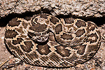 San Diego, California; a small Western Rattlesnake coiled up against a crevice in a rock boulder at night
