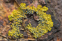 Common Orange Lichen / Yellow Scale /Maritime Sunburst Lichen / Shore Lichen {Xanthoria parietina} growing on rusty machinery on the coast. Isle of Mull, Scotland, UK. June.