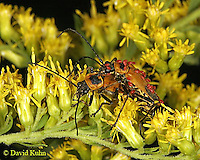 0925-06zz  Goldenrod Soldier Beetle with mites - Chauliognathus pennsylvanicus - © David Kuhn/Dwight Kuhn Photography