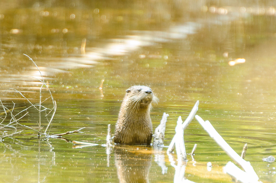 The Northern River Otter is a formidable aquatic predator, a member of the weasel family. Just as capable on land, Otters are playful and social.