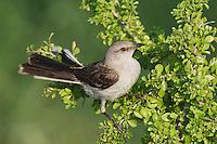 Northern Mockingbird, Mimus polyglottos, adult on saffron plum (Sideroxylon celastrinum) , Willacy County, Rio Grande Valley, Texas, USA, June 2006