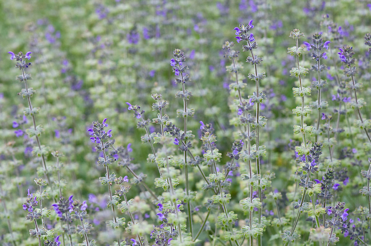 Bog sage (Salvia uliginosa), mid June.