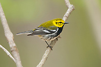 Adult male Black-throated Green Warbler (Dendroica virens) in breeding plumage. Tompkins County, New York. May.