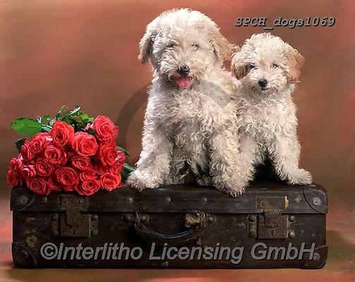 Xavier, ANIMALS, REALISTISCHE TIERE, ANIMALES REALISTICOS, dogs, photos+++++,SPCHDOGS1069,#a#, EVERYDAY