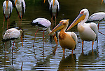 Great White Pelicans and Yellow-billed storks standing in water