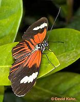 0101-0914  Elevatus Butterfly, Heliconius elevatus, Amazon © David Kuhn/Dwight Kuhn Photography