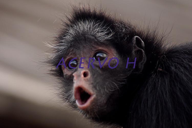Macaco aranha apreendido pelo Ibama antes de ser devolvido a floresta.<br /> Altamira, Pará, Brasil.<br /> Foto Paulo Santos<br /> 14/02/2006<br /> <br /> Percorrer até 2.000 m de distância, passam metade do tempo descansando e a outra metade despendida entre alimentação e deslocamento.<br /> Possui pelagem que varia do marrom escuro ao preto na face dorsal do corpo e pelagem de coloração creme, em sua face ventral. Pêlos branco-amarelados estão presentes na testa e nas costeletas. Habita, as florestas altas de terra firme, ocupando florestas sazonalmente inundadas, pois oferecem maior abundância de frutos. Frugívoro. Seu deslocamento é caracterizado pela braquiação. Utilizada como um quinto membro, a cauda preênsil possibilita uma agilidade no deslocamento e uma versatilidade de apoio para a manipulação de frutos. Os grupos sociais são formados de 16 a 40 indivíduos. A gestação se dá em torno de 230 dias e o filhote permanece junto à mãe durante os primeiros 4 meses de vida.  A área de vida varia entre 250 e 400 ha. Podem ser encontrados desde o nível do mar até 2.500 m de altitude (RAVETTA, 2008).
