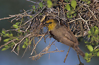 Verdin,  Auriparus flaviceps,adult at nest, Willacy County, Rio Grande Valley, Texas, USA, June 2004