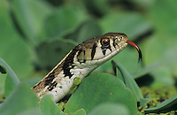 Checkered Garter Snake, Thamnophis marcianus marcianus, adult, Lake Corpus Christi, Texas, USA