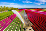 Rainbows created while colourful tulip fields are irrigated by Erik Krugers