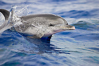 Stenella frontalis, Spotted Dolphin, Surfacing, Azores-Portugal