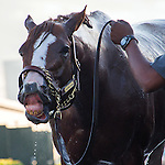 HALLANDALE BEACH, FL - JANUARY 21: California Chrome gets a bath after working 5 furlongs at Gulfstream Park. (Photo by Arron Haggart/Eclipse Sportswire/Getty Images